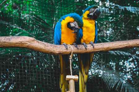 two orange and blue macaws on branch